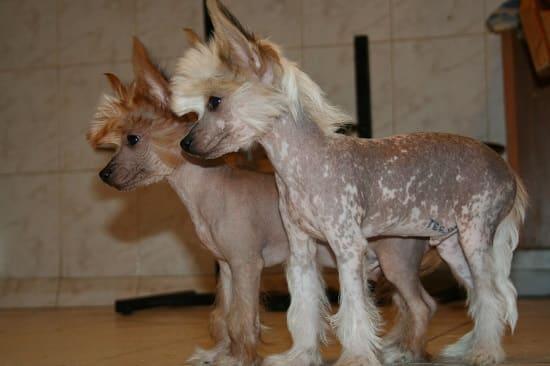 2 щенка голой хохлатой собаки