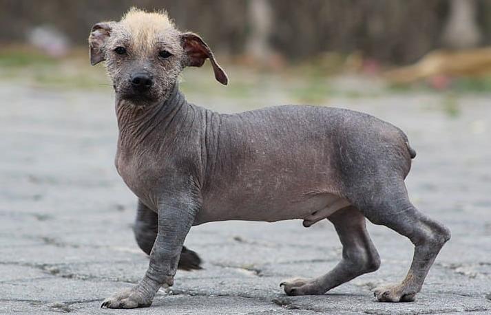Эквадорская лысая собака