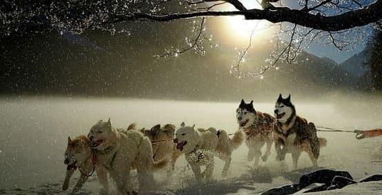 Ездовые собаки в упряжке