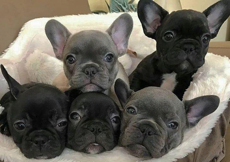 Голубые и чёрные щенки французского бульдога