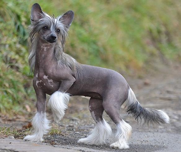 Китайская голая собака с хохолком