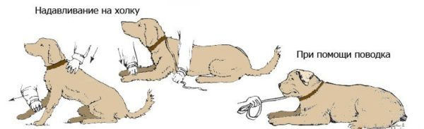 Команда Лежать: традиционный способ дрессировки собак