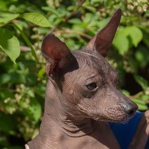 Лысая мексиканская собака ксоло