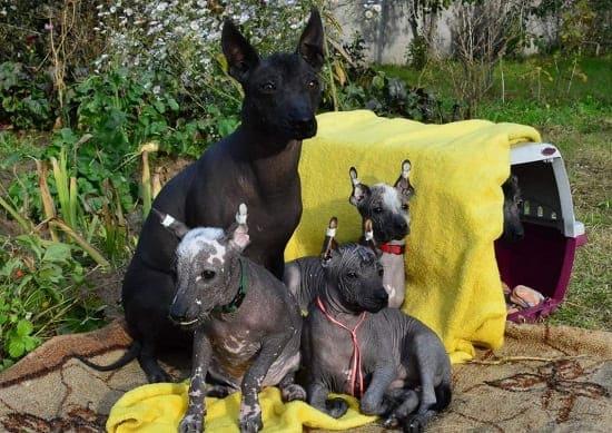 Мексиканская голая собака со щенками