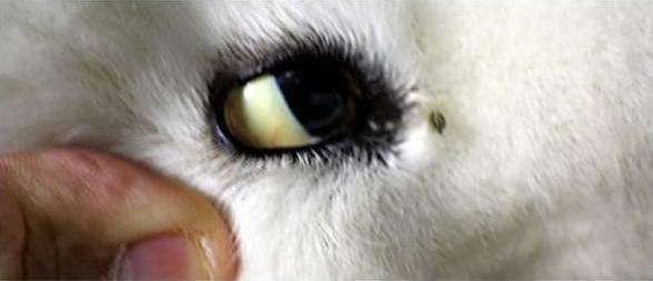 Пироплазмоз: у собаки желтеют белки глаз