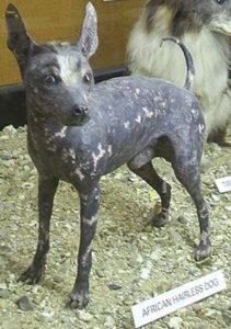 Редкая лысая порода: африканская голая собака