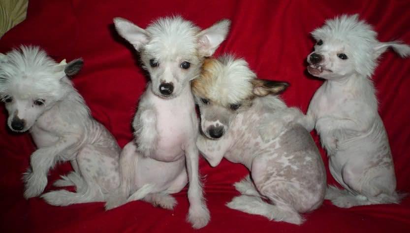 Новорождённые щенки китайской хохлатки