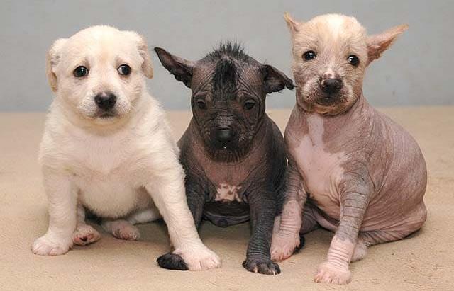 Щенки мексиканской собаки ксоло: лысые и пуховые