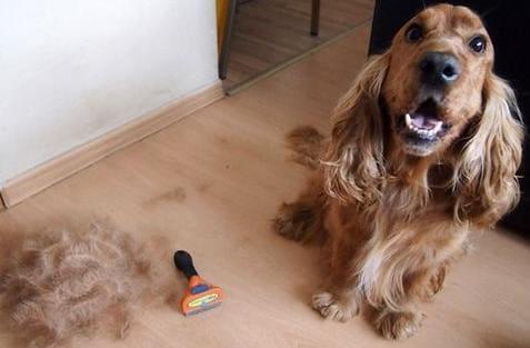 Собака после вычёсывания фурминатором