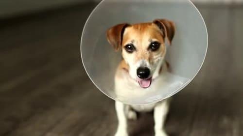 Собака в защитном воротнике перед лечением лишая