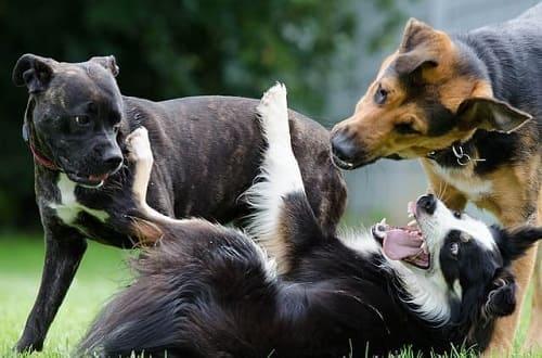Споры лишая передаются собакам во время игры