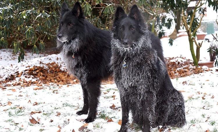 2 собаки породы грюнендаль на снегу