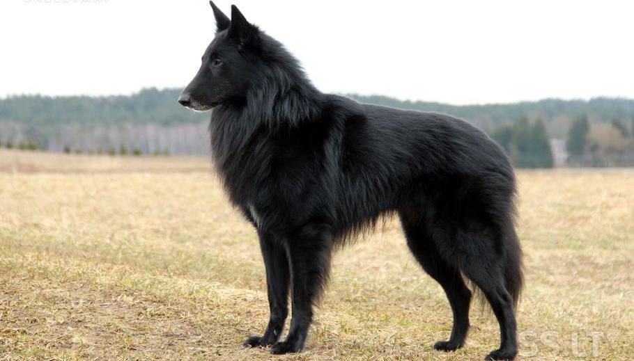 Чёрная бельгийская овчарка грюнендаль