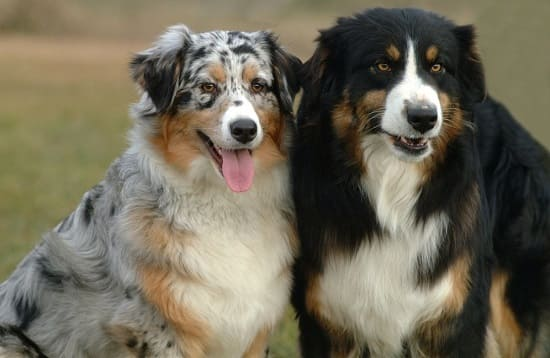 2 австралийские овчарки