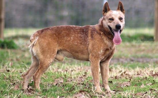 Австралийская пастушья короткохвостая порода собак