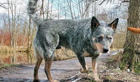 Австралийская пастушья порода собак