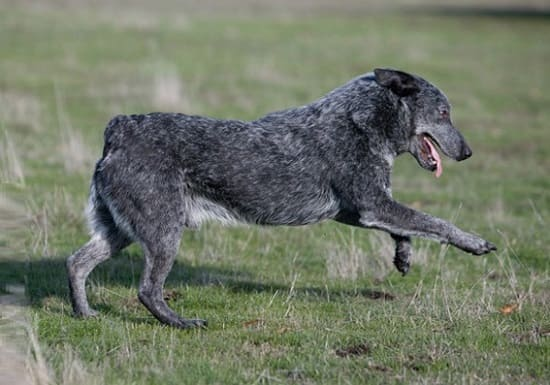 Австралийская пастушья собака стампи