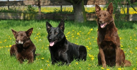 Австралийская порода собак келпи