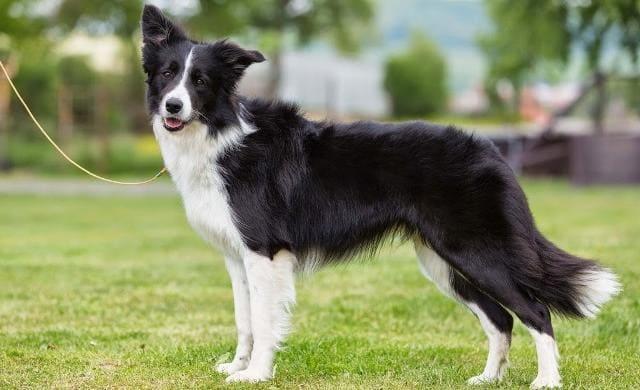 Шотландская пастушья собака