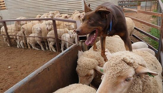 Келпи работает с овцами