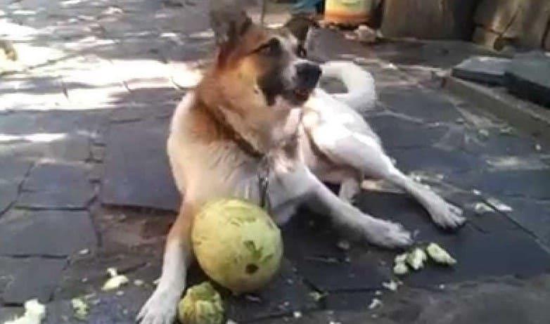 Собака ест сырой кабачок