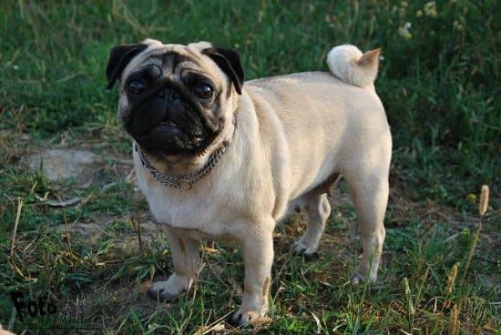 Гладкошерстая маленькая порода собак мопс.