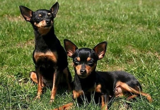 Пражский крысарик – самая маленькая европейская гладкошерстная порода собак