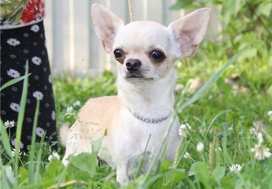 Чихуахуа – самая маленькая гладкошерстная порода собак