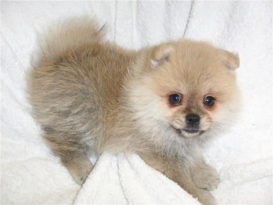 Двухмесячный щенок малого немецкого шпица.
