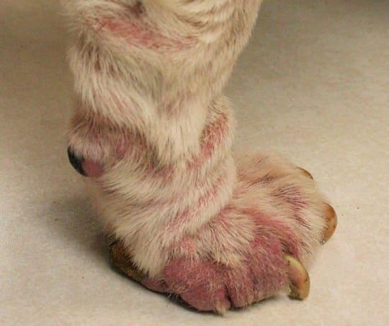 Демодекоз на лапе у собаки