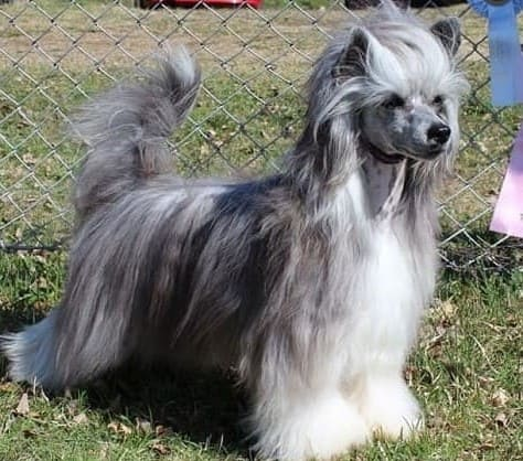Китайская хохлатая собака паудер-пафф