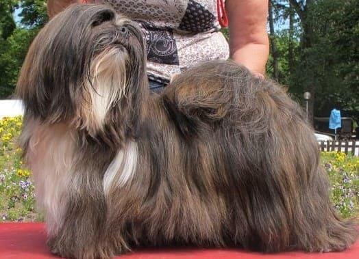 Лхаса апсо: длинношерстная маленькая порода собак