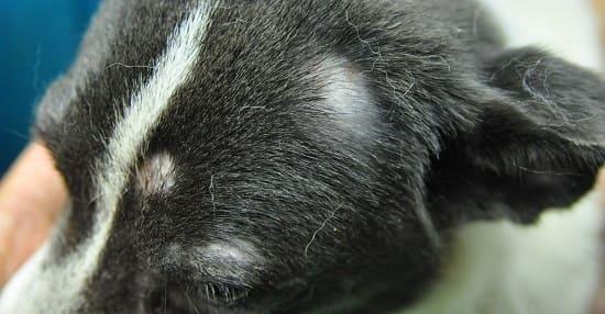 Начальные симптомы чешуйчатого демодекоза у собаки на голове