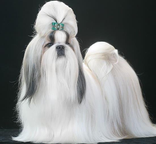 Ши-тцу: длинношерстная маленькая собачка