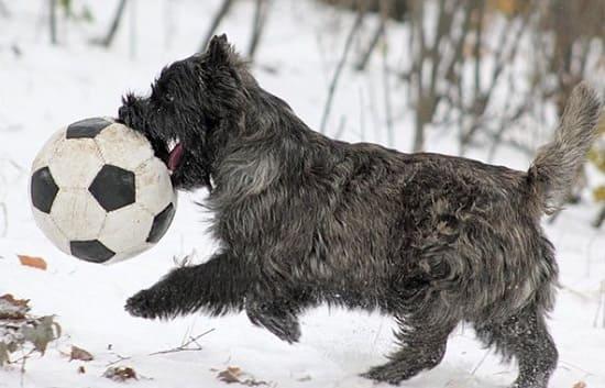 Керн терьер играет с мячом