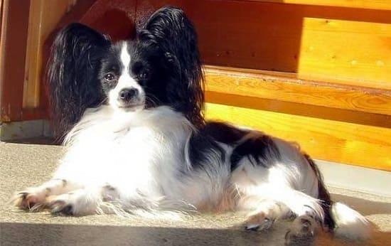Папильон: умная маленькая порода собак