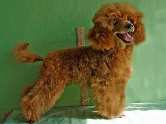 Той пудель: умная маленькая порода собак
