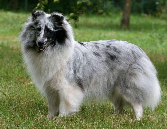 Шетландская овчарка шелти