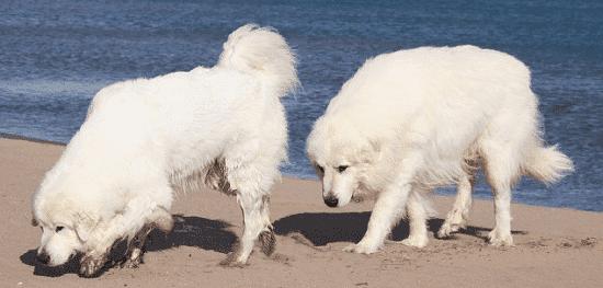 Горные пиренейские собаки