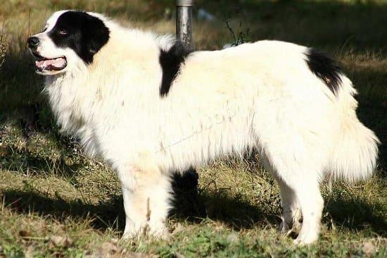 Каракачанская овчарка