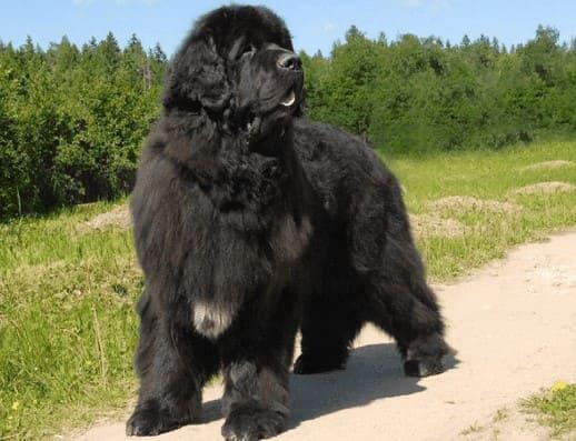 Ньюфаундленд чёрного окраса