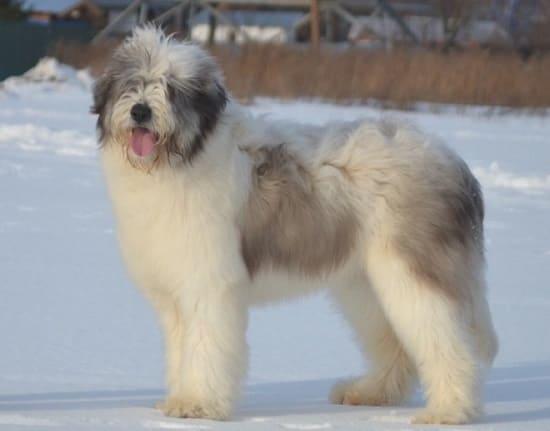 Румынская миоритская овчарка