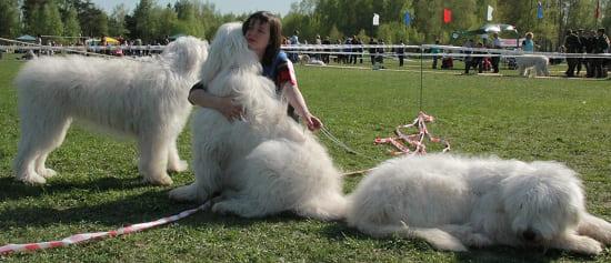 Южнорусские овчарки