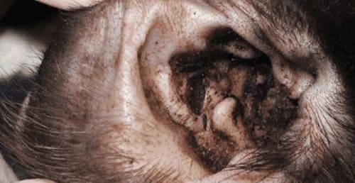Тёмный налёт в ушах при отодектозе