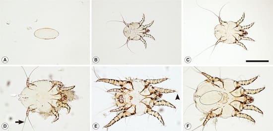 Жизненный цикл ушного клеща Otodectes cynotis