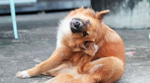 У собаки ушной зуд