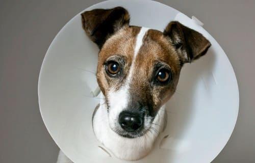 Собака в ветеринарном воротнике