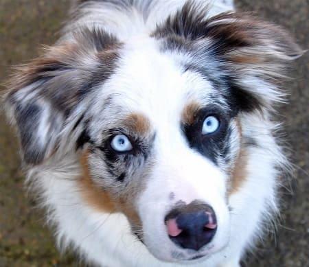 Австралийская овчарка мраморного окраса с голубыми глазами