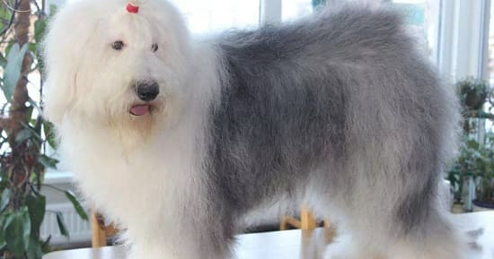 Собака бобтейл с серо-голубыми глазами