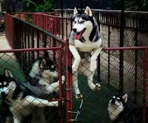 Собака хаски на ограде